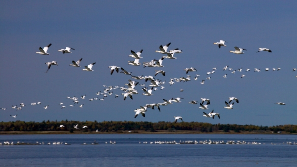 geese, snow geese, migration, Rimouski